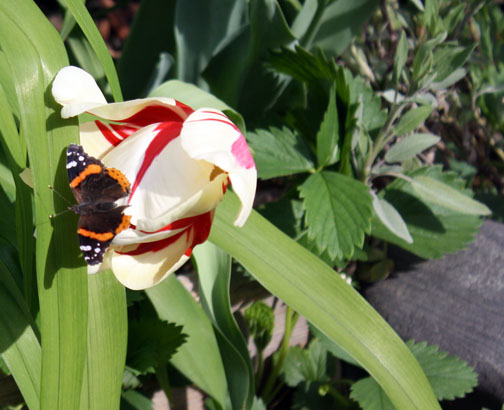 tulip and moth