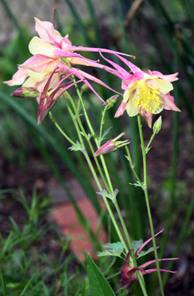 such a wonderful early summer plant, reseeds readily