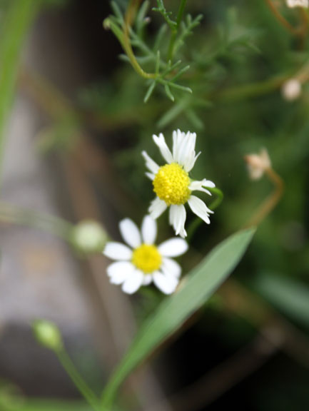 chamomile that reseeds every year!