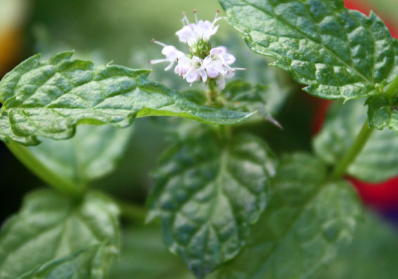This mint has a home between the two, yes the weird two, fences between our garden and the neighbor's.