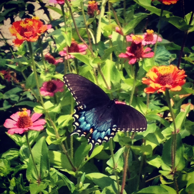 Female Black and Blue Swallowtail visiting Zinnias