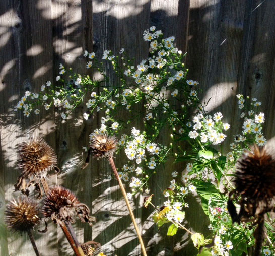 white aster and cone flower gone to seed