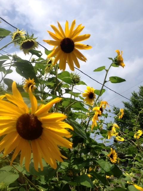 sundflower