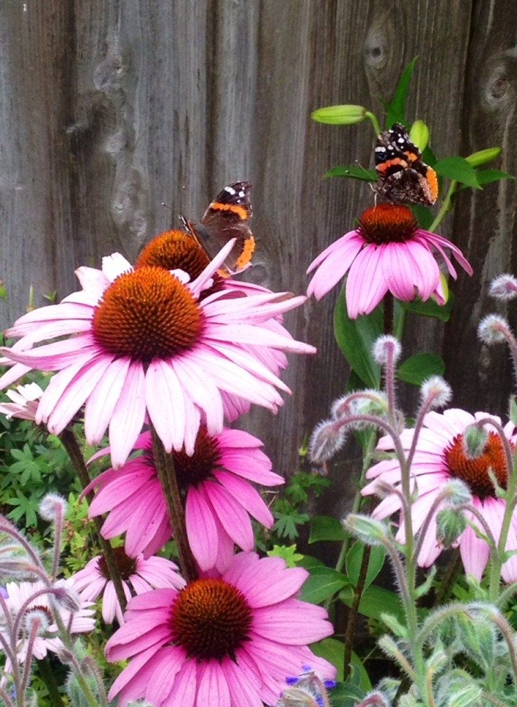 Red admiral butterflies on purple coneflower