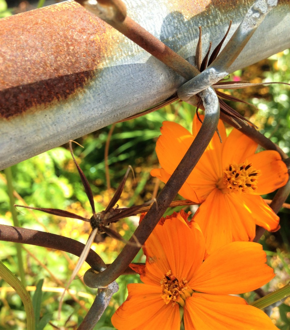 Orange cosmos, flower and seeds.