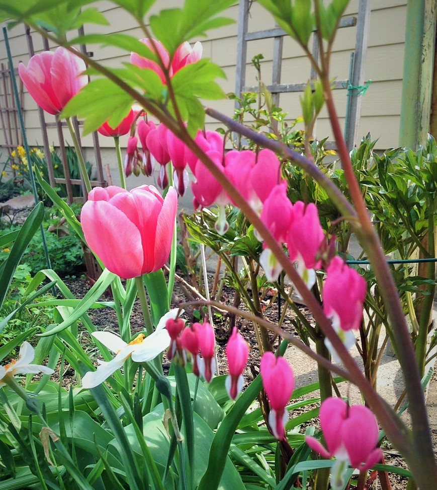 nothing sweeter than bleeding hearts in the spring.